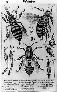 Francesco Stellutti: bees drawing
