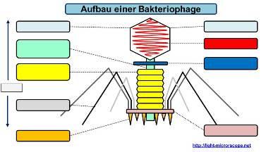 Aufbau Virus / Bakteriophage Übungsblatt PDF