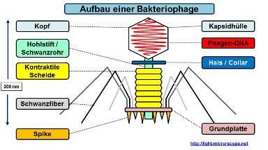 Aufbau Virus / Bakteriophage