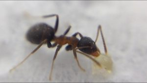 Ameise unter Mikroskop