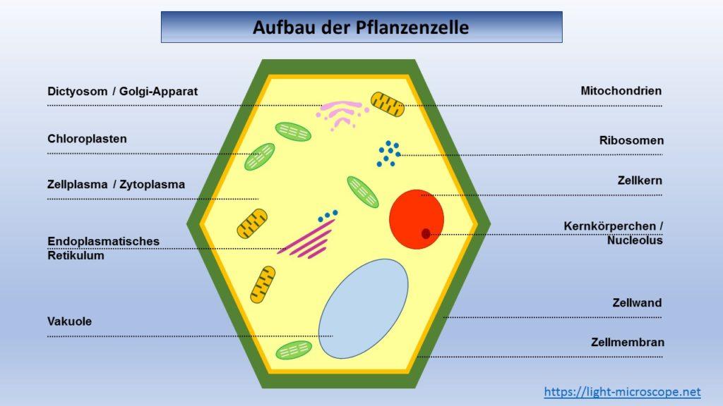 Arbeitsblatt - Aufbau der Pflanzenzelle